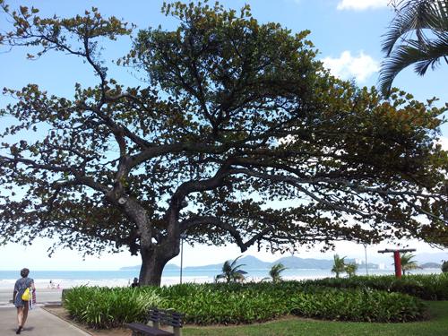 Tropisk mandeltre (Chapéu de Sol)